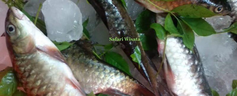 mancing ikan mahseer di Aceh