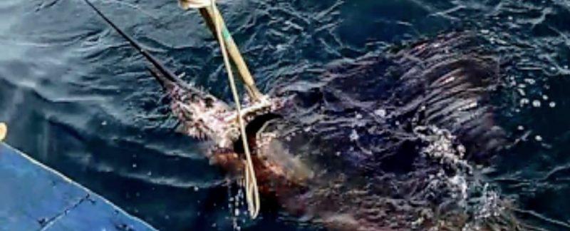 Ikan Layaran di Ultralight